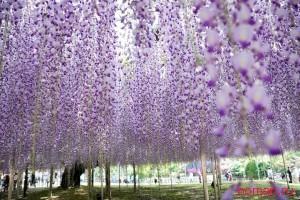Парк цветов Асикага, Япония