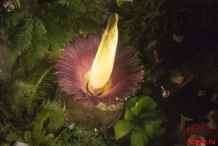 Титан Арум – самый большой цветок в мире