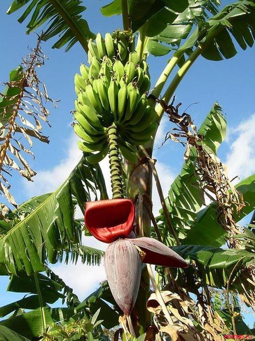Как растут экзотические фрукты