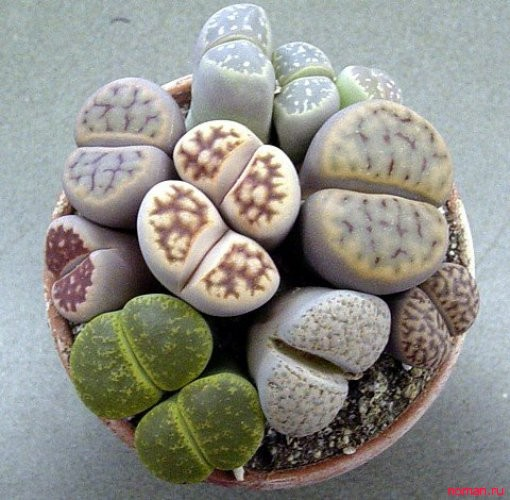 Живые камни