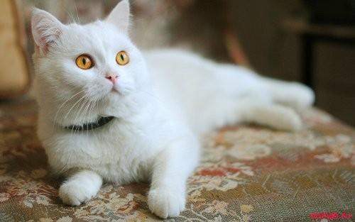 белый ангорский Кот